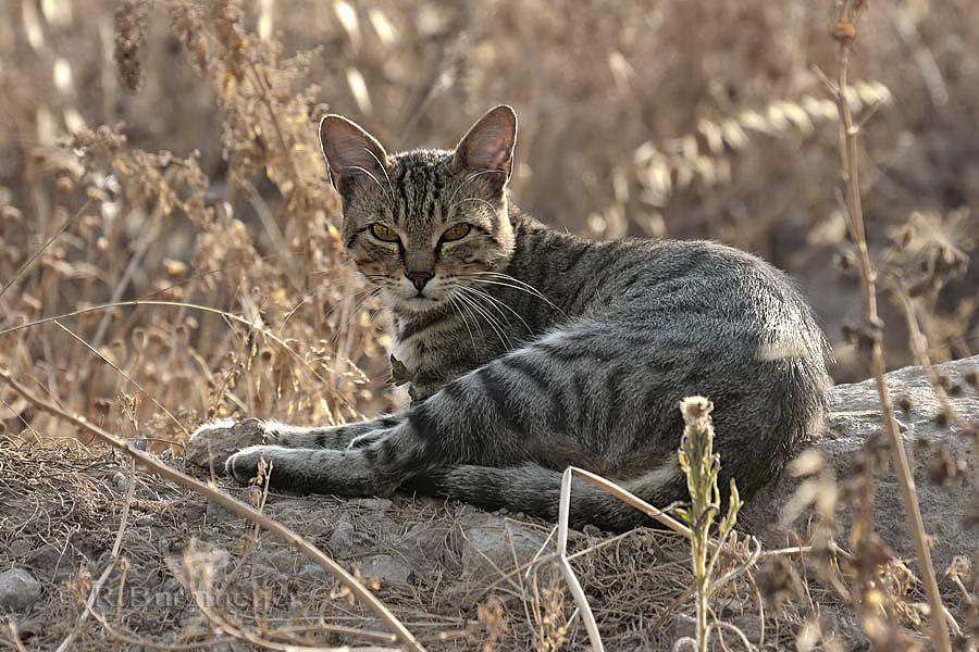 Verwilderde kat