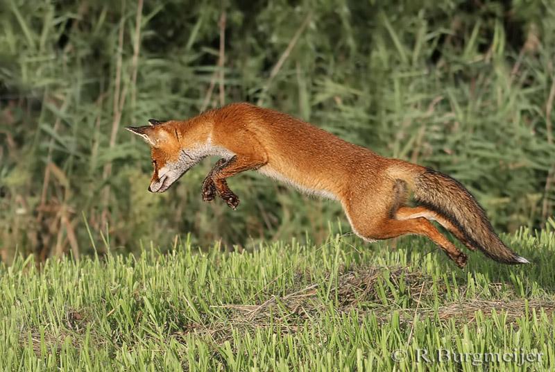 Jagen Vossen Op Katten