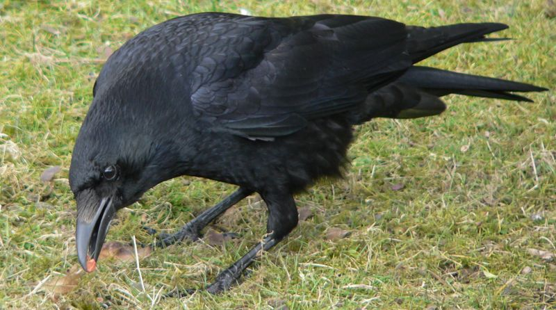 Zwarte kraai