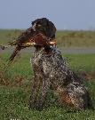 Draadhaar met fazant